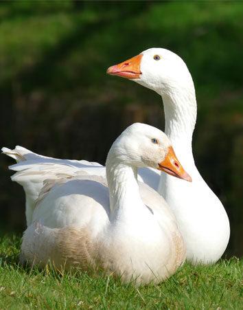 Firma para acabar con la fiesta 'Correr los gansos'