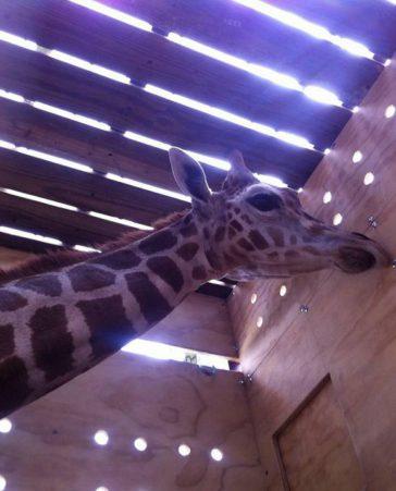 Ayúdenos a rescatar a las jirafas que llegaron a Loja- Ecuador
