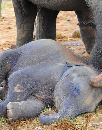 Pongamos FIN a la caza de elefantes